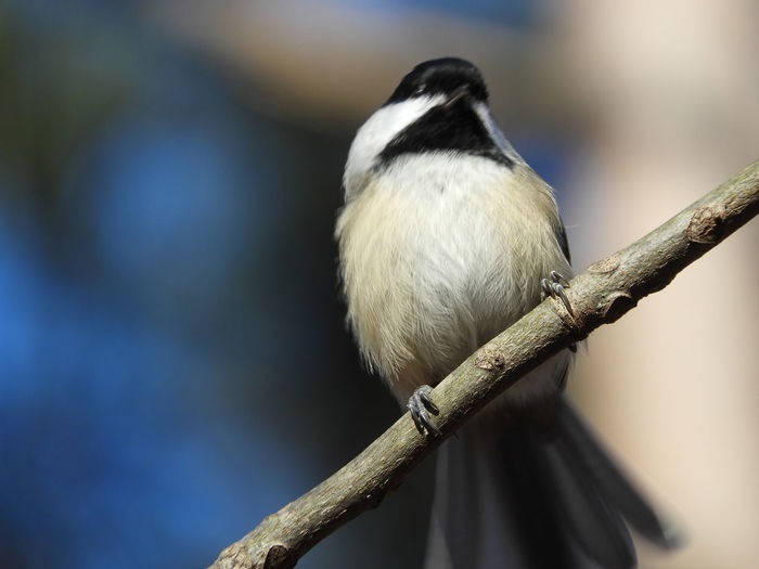 Black Capped Chickadee Chickadee Perched Chicadee Nature Photography Nature Beauty In Nature Peaceful Calm Bird On A Branch Bird Photography Birds_collection Bird In Nature Birds Of EyeEm  Bird Watching Bird Photography Chicadee Photography Bird Perching Close-up Songbird