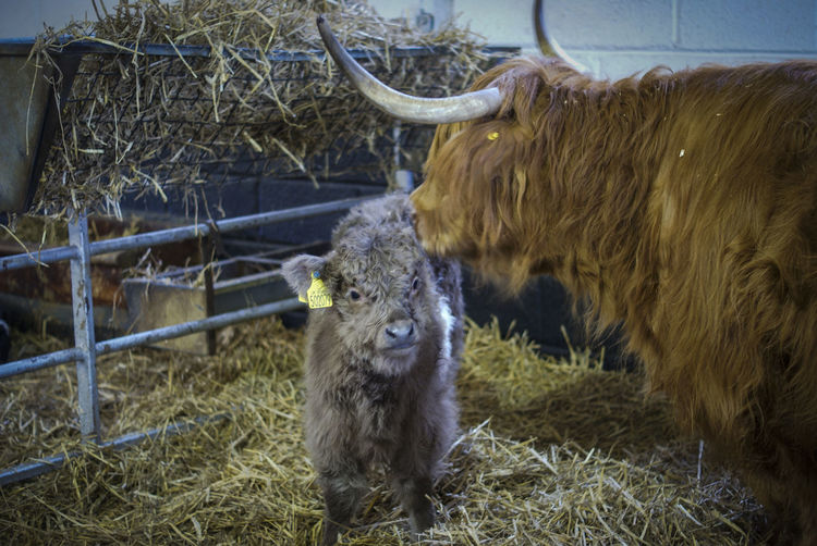 Animal Themes Day Domestic Animals Field Highland Cow Horned Livestock Mammal Nature No People Outdoors Sheep Young Animal