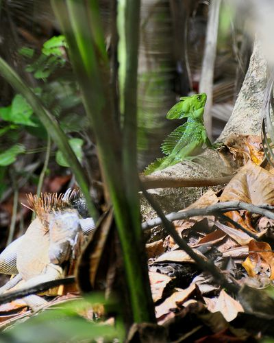 Iguana lower left corner and Green Lizard Cahuita upper right corner Costa Rica (c) 2015 Shangita Bose All Rights Reserved Snbcr Nature's Diversities