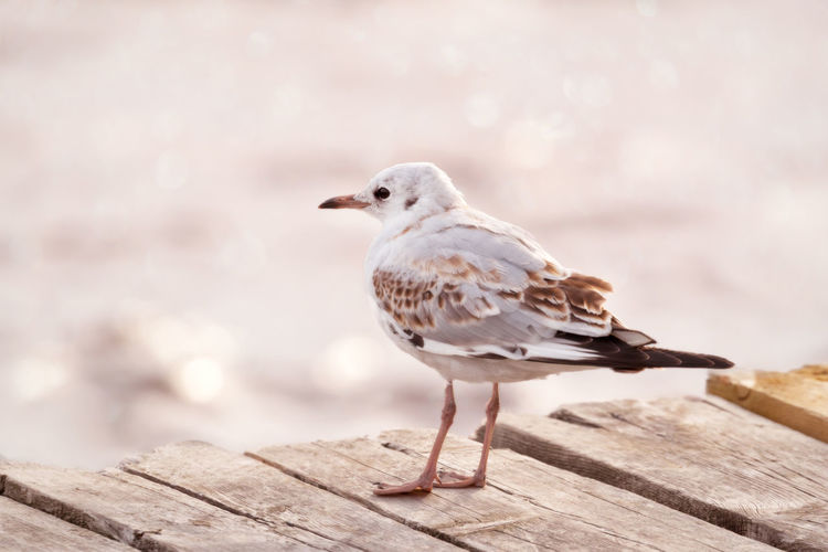 Close-up of black headed seagull perching on wooden dock