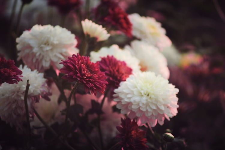 Close-up of pink and white dahlias
