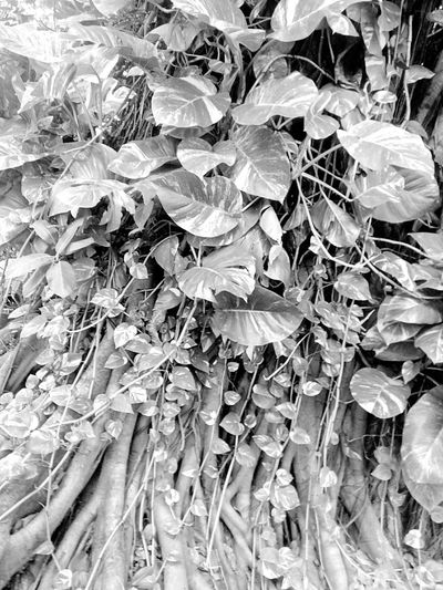 Ivy Creeper Ivy Plant Creeper Plant Ivy Photography Ivy On Tree Creeper On A Tree Tree Tree Photography Tree_collection  Nature Nature Photography Black And White Black And White Photography Black And White Tree ใน Bangkok, Thailand