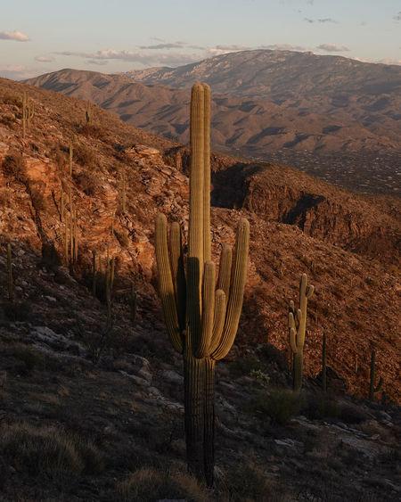Cactus in desert against mountain range