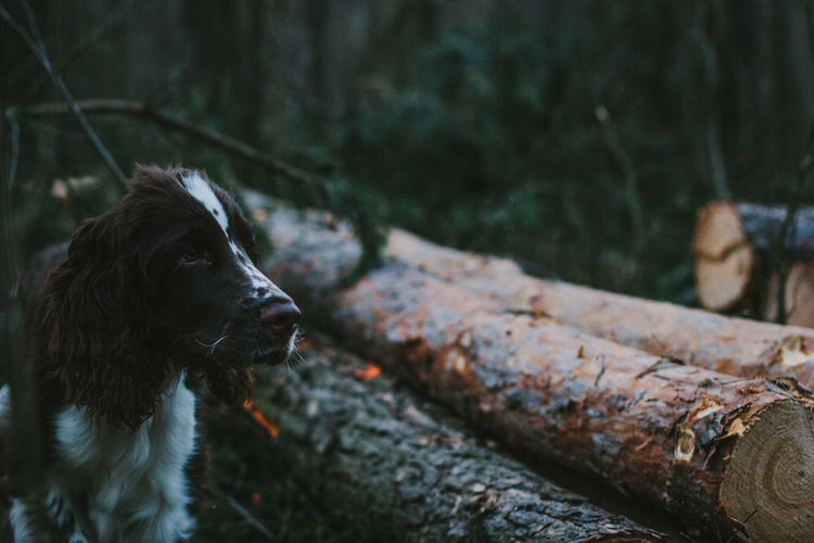 Close-up of english springer spaniel in forest