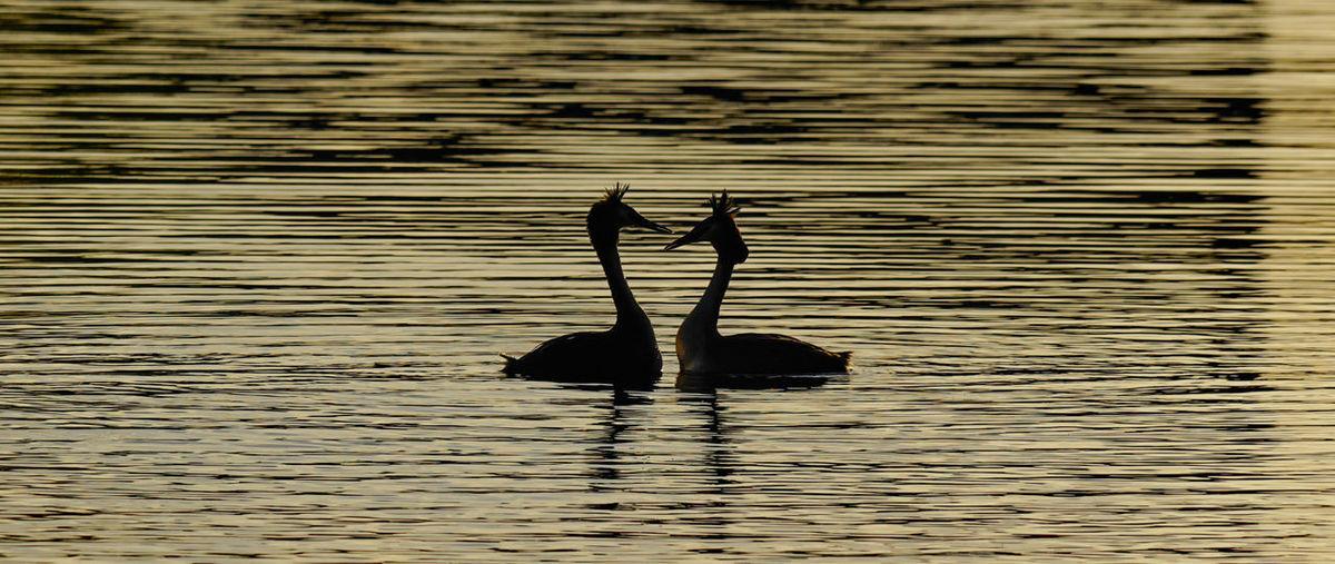 Silhouette bird swimming in lake