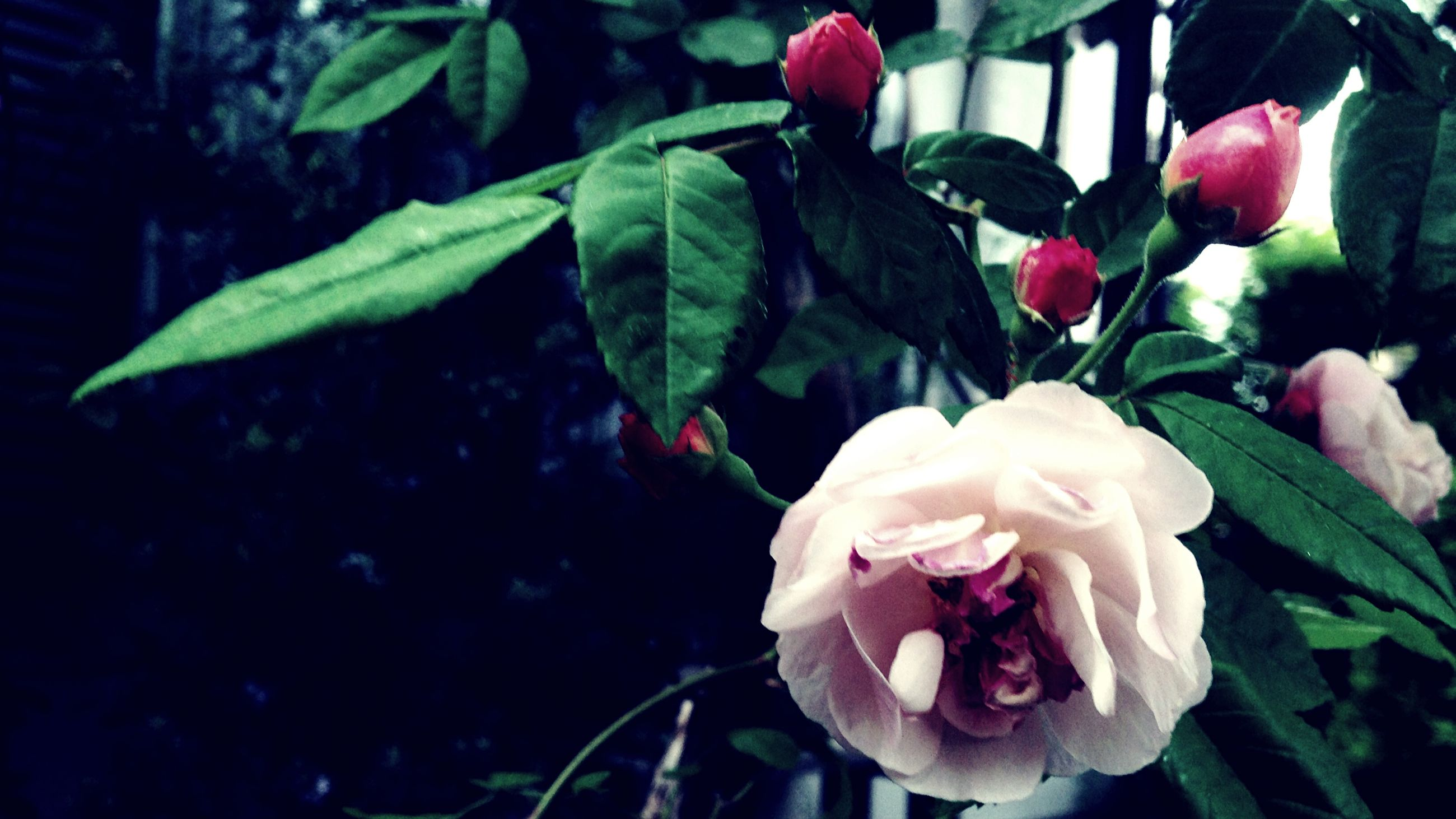 flower, petal, freshness, fragility, flower head, growth, beauty in nature, plant, leaf, close-up, blooming, nature, rose - flower, focus on foreground, pink color, in bloom, day, high angle view, no people, outdoors