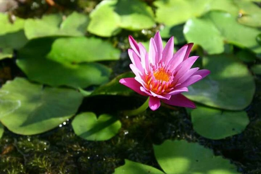 Lily Pads Water Lily Natural Beauty Flowers Relaxing Enjoying Life Green Pink Hues Of Life Nature