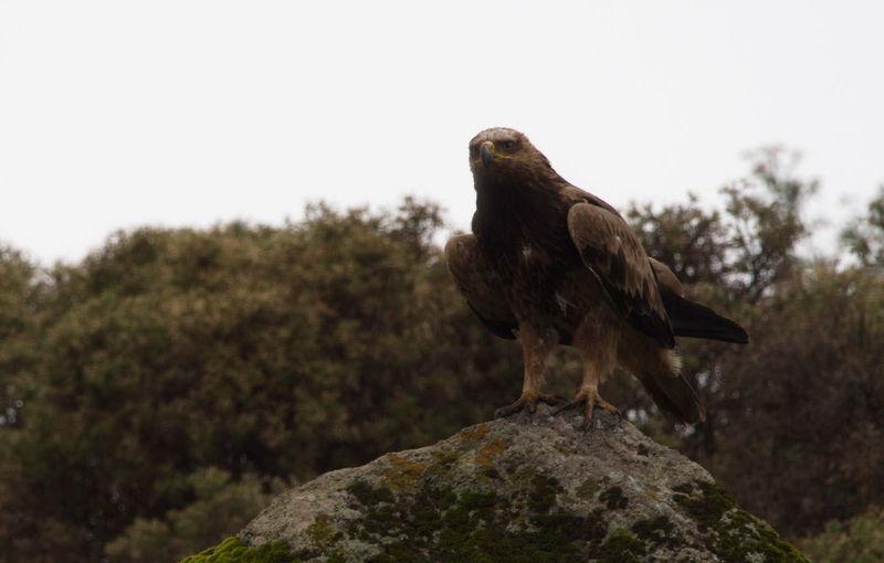 Closeup side on profile portrait of tawny eagle aquila rapax perching on rocks, ethiopia.