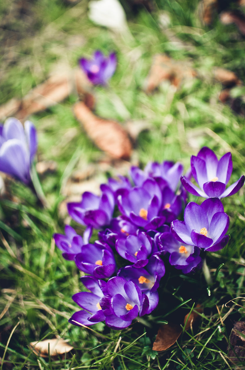 flower, purple, growth, beauty in nature, nature, petal, fragility, freshness, plant, field, flower head, day, outdoors, no people, grass, crocus, close-up, blooming