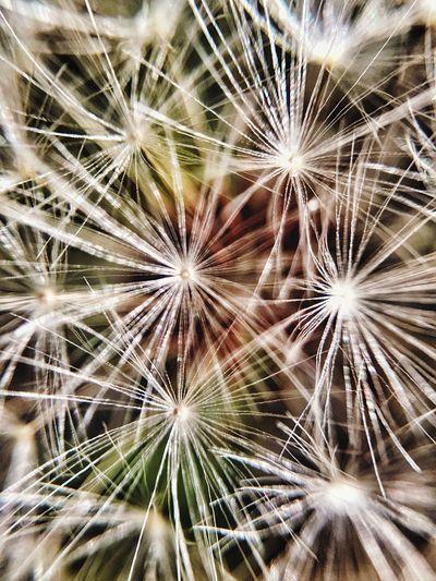 Full frame shot of dandelion
