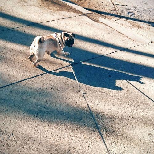 High Angle View Of Pug On Footpath
