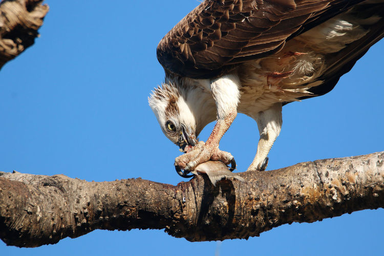 Low angle view of owl hunting fish against clear blue sky