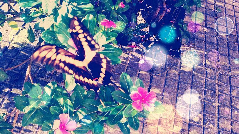 Butterfly flower is that wind dances Butterfly BorboletaÉFlor EyeEm Nature Lover Natureza 🐦🌳 Mariposa Flower & Butterfly Green Green Green!  EyeEm Flower Pink Flower