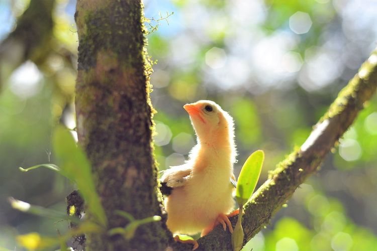 Small yellow chick on a tree branch. Yellow Chick  Animal Animal Themes Animal Wildlife Animals In The Wild Bird Branch Chicken - Bird Close-up Cute Cute Cats Day Nature Newborn Baby Chick One Animal Outdoors Plant Tree Vertebrate