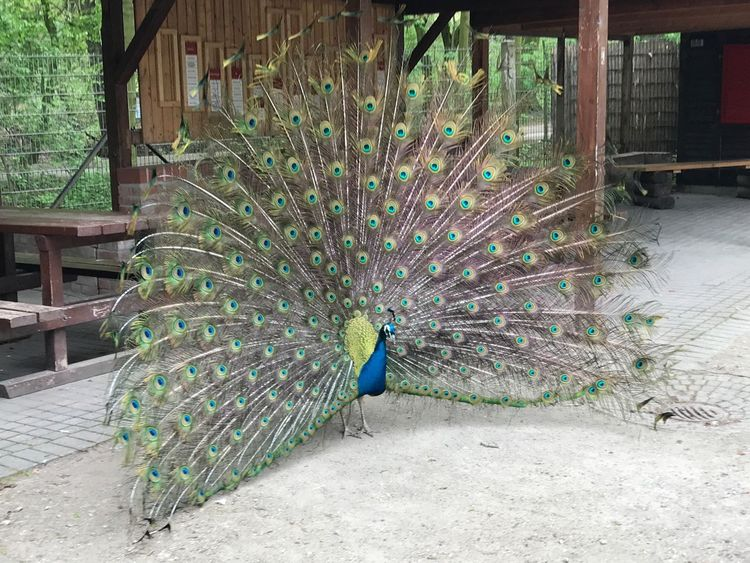 Peacock Fanned Out One Animal Beauty In Nature No People Outdoors Beauty In Nature Bird Animal Themes