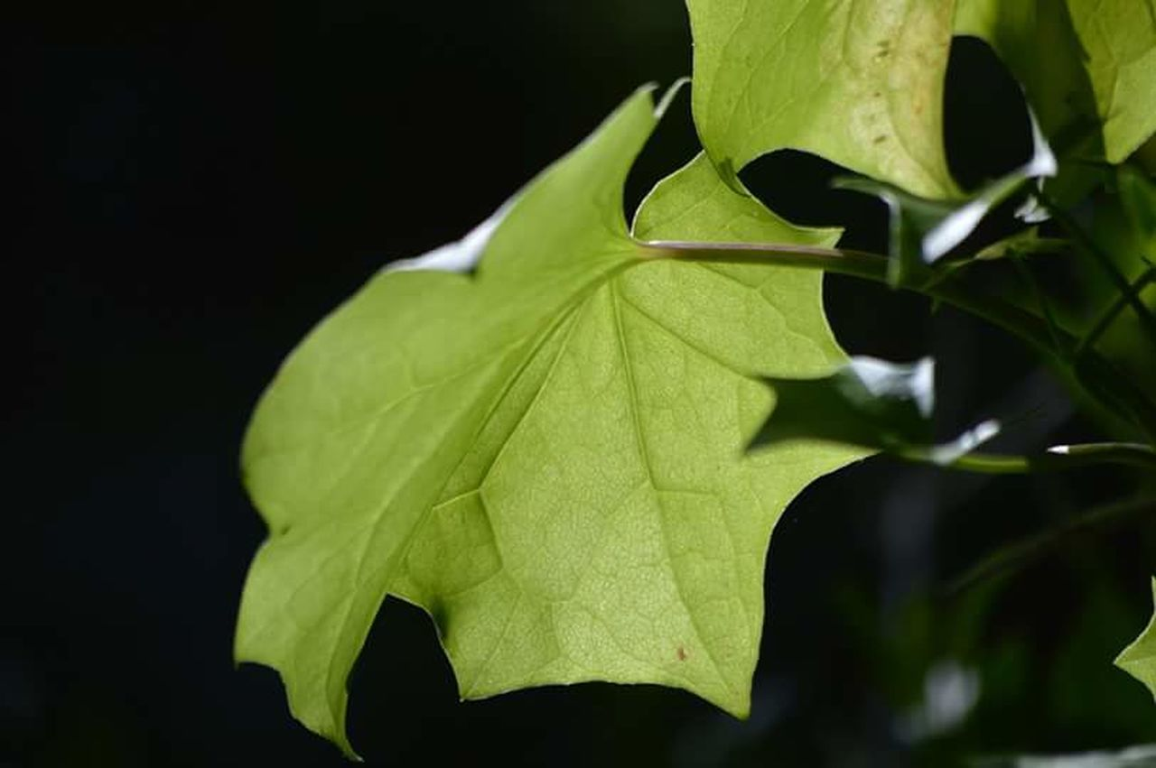 leaf, green color, close-up, no people, growth, outdoors, nature, day, black background, freshness