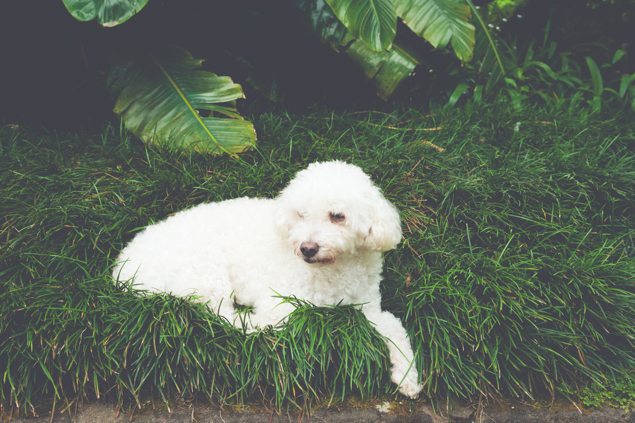White poodle resting on grass