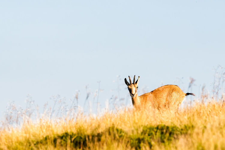 Antelope on field against clear sky