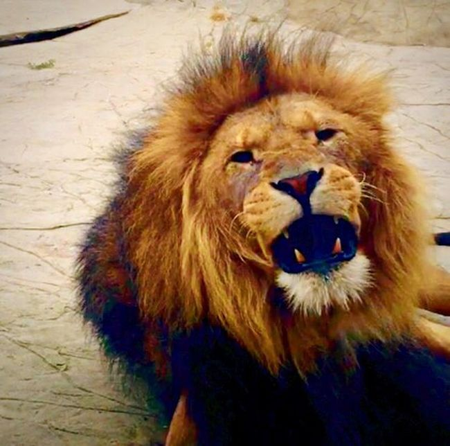 Lion Colchester Zoo Kingofthejungle Predator Roar Power In Nature Showcase March