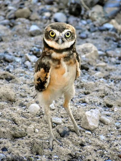 Young Burrowing Owl Owl Long Legs Eyes Nature Wings Sunlight Sand Bird Portrait Close-up Meerkat Bird Of Prey Growing Yellow Eyes