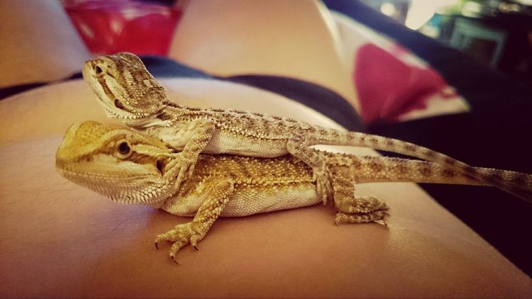 Tetzuo Akira Lizard I Love My Pet