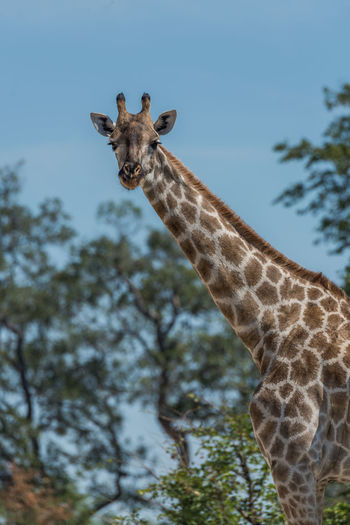 Low angle view of giraffe against trees