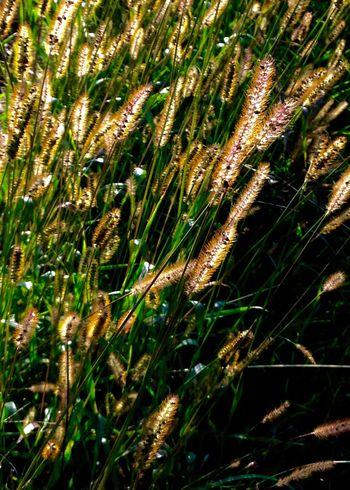 Nature Plantes Vert Culture Herbes Champs Campagne picardie Oise  France Bucolique