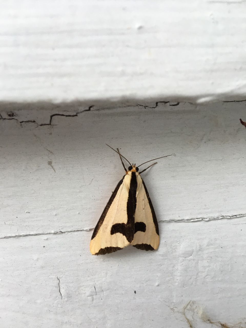invertebrate, insect, animal themes, animal, animal wildlife, animals in the wild, one animal, no people, wall - building feature, close-up, day, animal wing, moth, outdoors, nature, white color, animal antenna, yellow, butterfly - insect, wood - material, butterfly