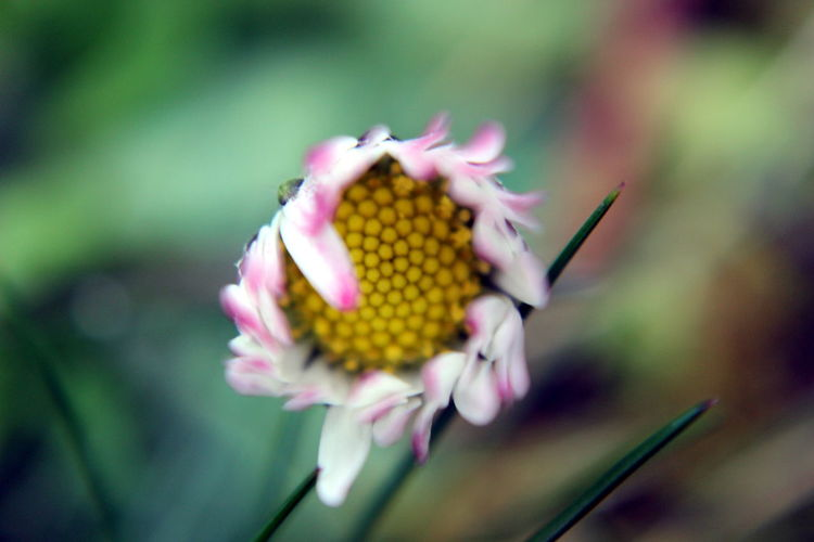 Daisy Macro Beauty In Nature Blooming Blossom Botany Bud Close-up Day Flower Flower Head Focus On Foreground Fragility Freshness Growth In Bloom Nature New Life No People Outdoors Petal Plant Pollen Selective Focus Stamen Stem Yellow