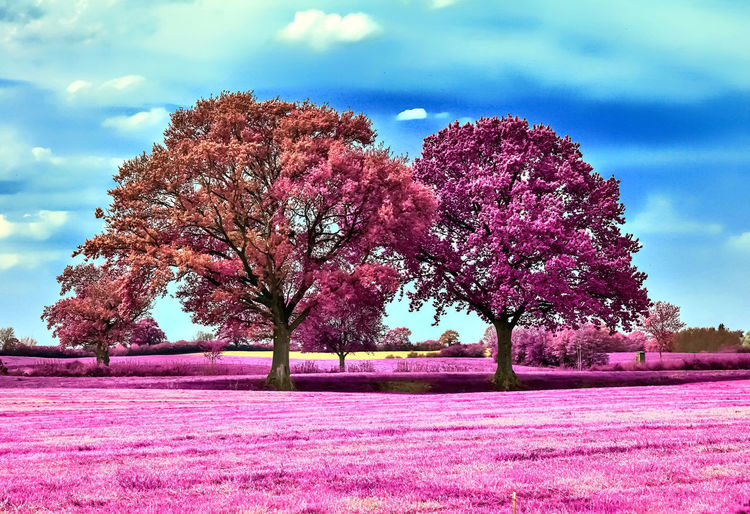 Pink cherry blossom trees on field against sky