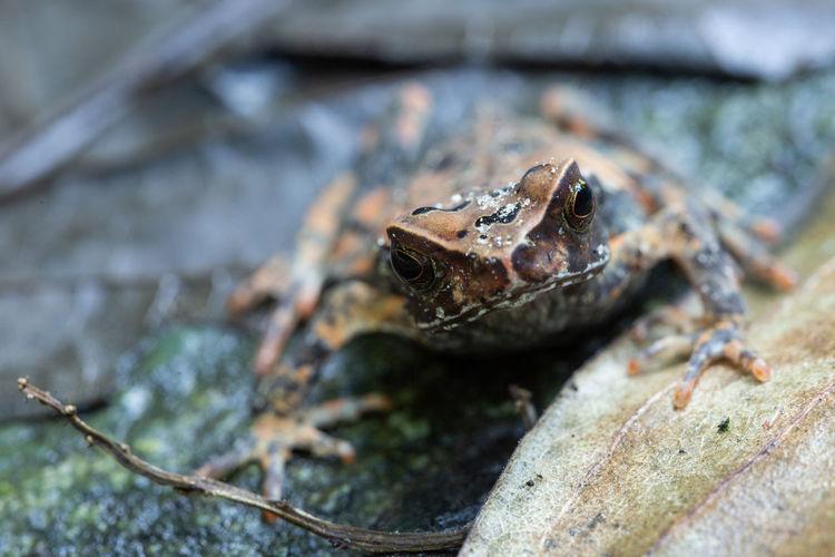 Hola, soy Rana Animal Animal Themes One Animal Animals In The Wild Animal Wildlife Close-up Selective Focus Amphibian Frog