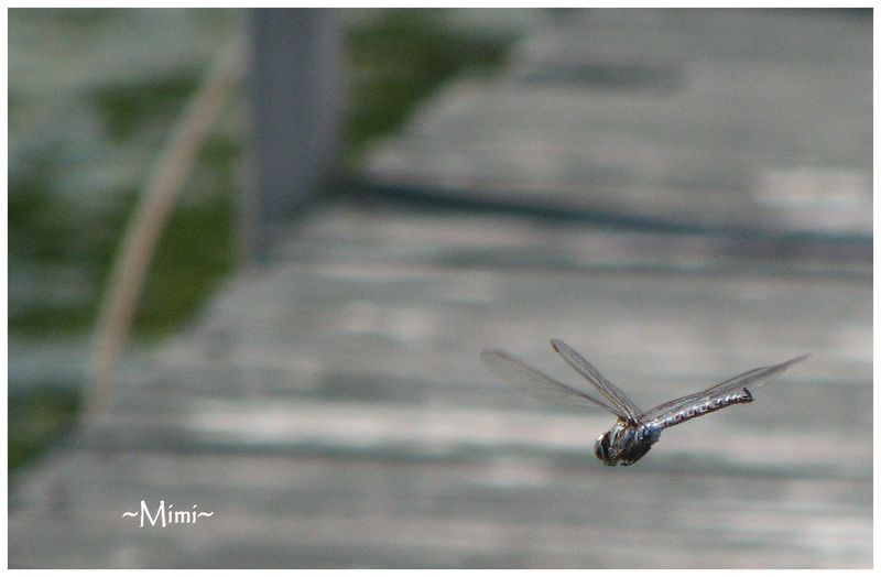 Close-up Dragonflies Dragonflies In Flight Dragonfly Focus On Foreground Insect Nature No People Oka National Park
