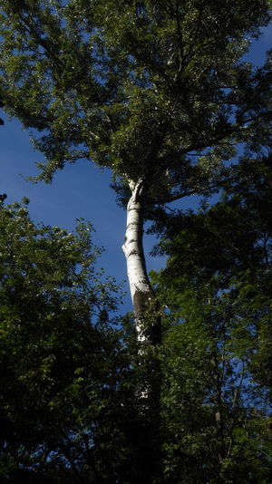 birch in the Lobau forest in the surroundings of Vienna Austria Beauty In Nature Branch Day Forest Growth Low Angle View Nature No People Outdoors Sky Tranquility Tree Tree Trunk