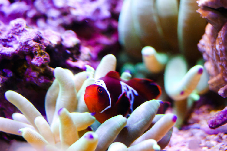 EyeEm Selects Underwater Sea Life UnderSea Coral Sea Animal Wildlife Water Clown Fish Swimming One Animal Sea Anemone Animals In The Wild Close-up No People Animal Themes Aquarium Nature Living Organism Scuba Diving Indoors  Nemo Nemo Fish Floride Miami
