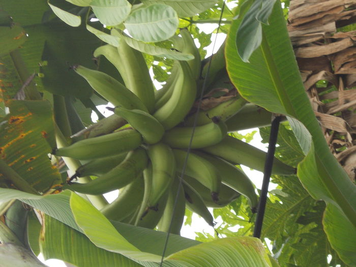 Agriculture Banana Banana Fruit Banana Leaf Banana Tree Bananas Big Banana Day Exotic Fruit Food Foodporn Fruit Fruitporn Fruits Giant Banana Green Green Color Leaf Leaves Nature Organic Outdoor Plant Tree Tropical Fruits