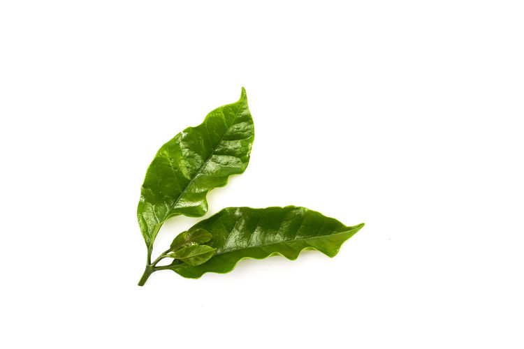 Close-up of leaf on white background