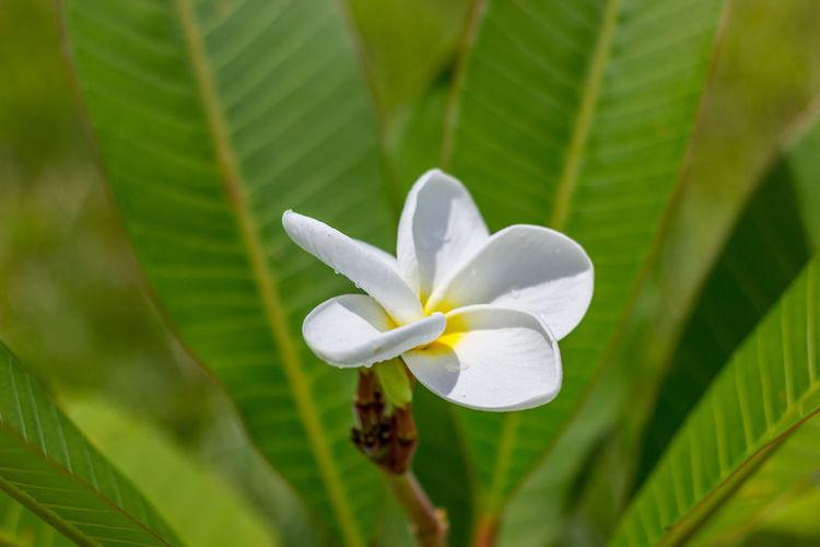 Close-up of wet frangipani blooming at park