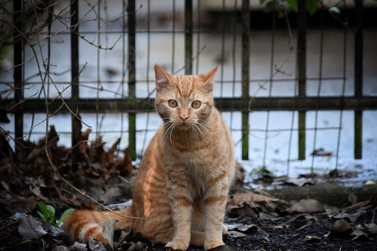 Pet Photography  Domestic Cat Animal Themes Mammal One Animal Pets Domestic Animals Feline Looking At Camera Portrait No People Outdoors Day Pet Pets Of Eyeem Cats Of EyeEm Feline Portraits My Cat Cats Yellow Eyes Grass Looking At Camera Backyard Photography Cat Whisker