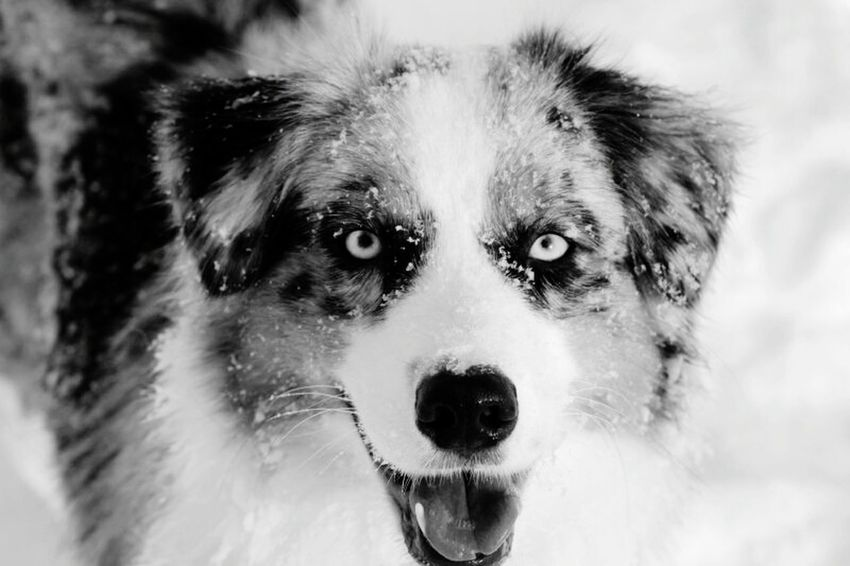 Candy Dog Blue Eyes Blue Eyes Pets One Animal Cold Temperature No People Snow Looking At Camera Portrait Domestic Animals Outdoors Snow ❄ Blackandwhitephotography Animal EyeEm Selects Pet Portraits Beauty In Nature White Color Nature Australianshepherd Aussiephotos Aussies Black And White