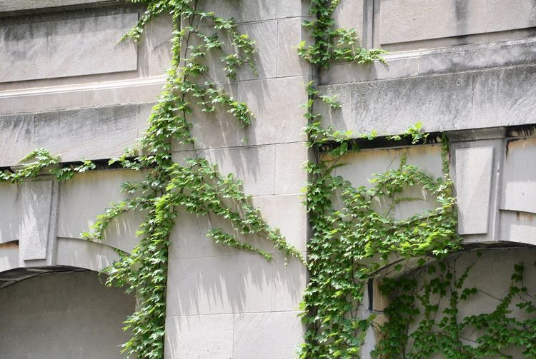 Low angle view of ivy growing on building wall