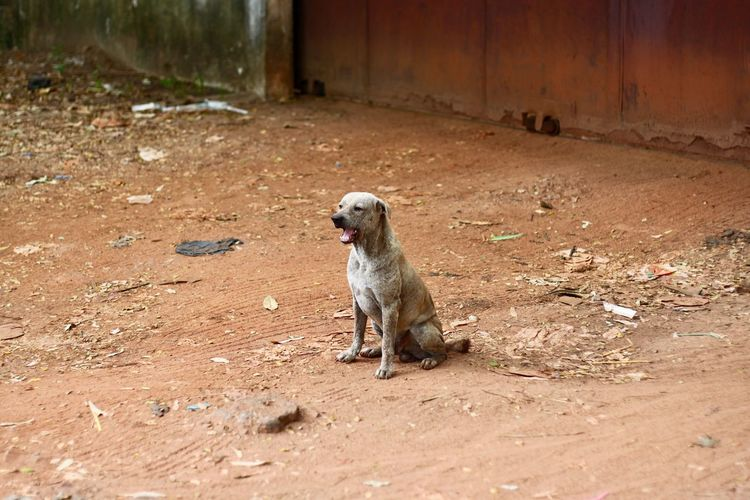 Cambodia Siem Reap Siem Reap, Cambodia ASIA One Animal Looking Away Dirt Sitting Dog Domestic Animals Domestic Mammal Pets No People Canine