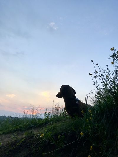Dog looking away on land against sky during sunset