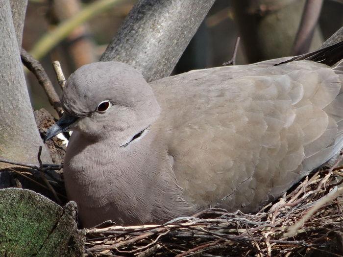 In pidgeon nest