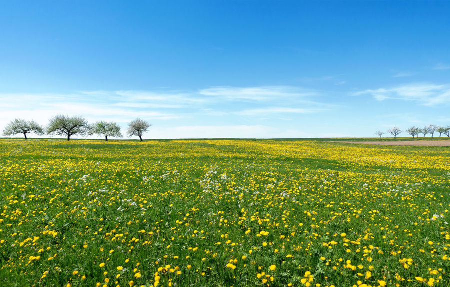 Large meadow with yellow blooming dandelion and a tree row on the horizon BIG Field Flowers Flower Meadow Grass Green Man Nature Tree Bloom Blooming Blossom Blossoming  Countryside Dandelion Flower Idyllic Landscape Large Meadow Row Of Trees Season  Spring Spring Meadow Springtime Yellow