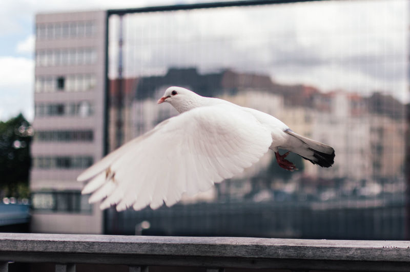 Close-Up Of Dove Flying Against Glass Building