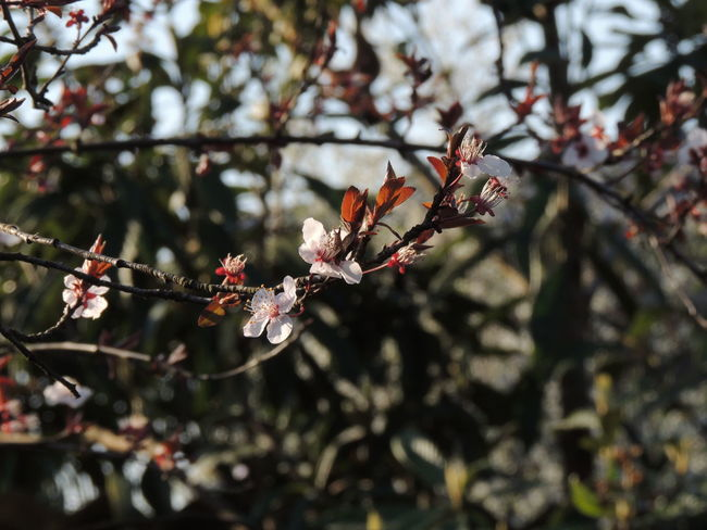 Beauty In Nature Blossom Branch Close-up Day Flower Flower Head Focus On Foreground Fragility Freshness Growth Nature No People Outdoors Plum Blossom Tree Twig