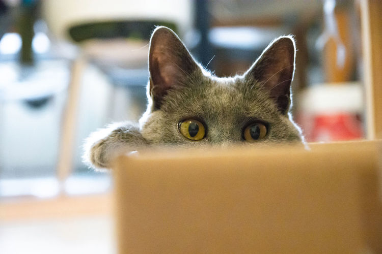 Chartreux cat sitting in a cardboard box Animal Animal Eye Animal Head  Animal Themes Cat Close-up Day Domestic Domestic Animals Domestic Cat Feline Focus On Foreground Home Interior Indoors  Looking At Camera Mammal No People One Animal Pets Portrait Selective Focus Vertebrate Whisker Yellow Eyes