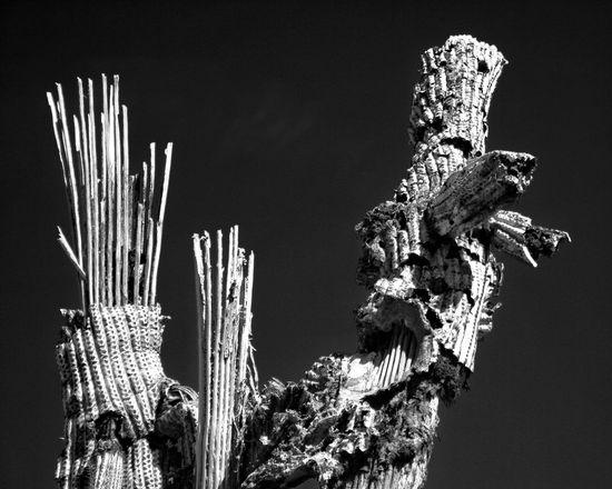 Saguaro Decay Arizona Monochrome Black And White Carnegiea Gigantea