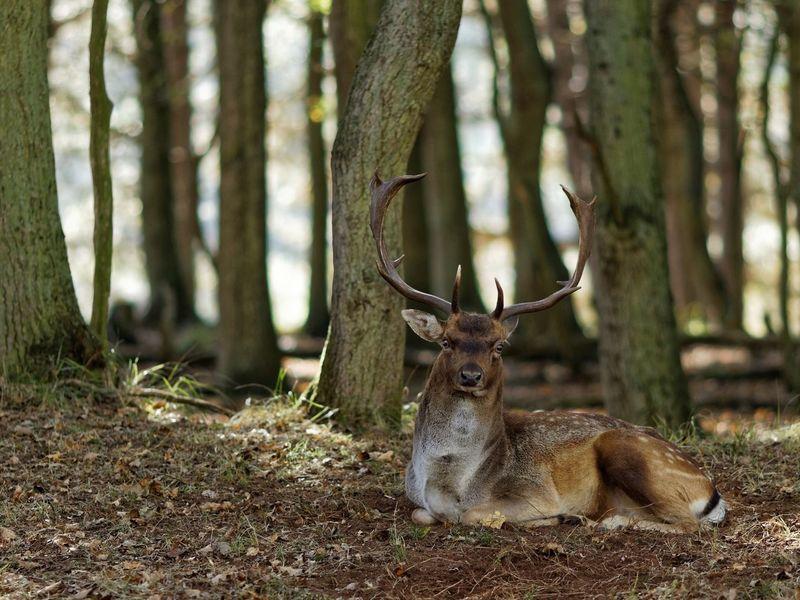 Buck Resting Fallow Deer Animal Wildlife Animal Themes Animals In The Wild Animal Tree Deer Mammal Antler Forest Nature WoodLand