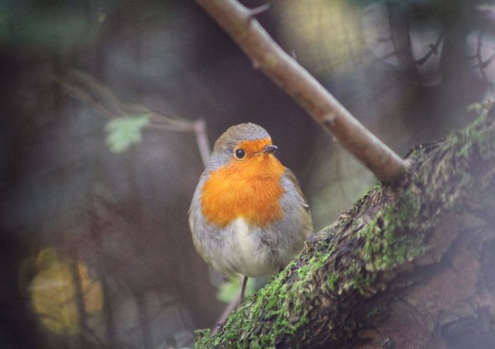 Robin Perching Bird EyeEm Nature Lover Forest Photography Perspectives On Nature EyeEm Gallery EyeEm Best Shots Exceptional Photographs Fall Beauty Autumn Colors Nature BestofEyeEm Autumn🍁🍁🍁 Bird Photography Birds Of EyeEm  Birds Birds_collection Rethink Things Xmas Christmas Christmas Bird Winter Winter Bird Robin Perched Shades Of Winter